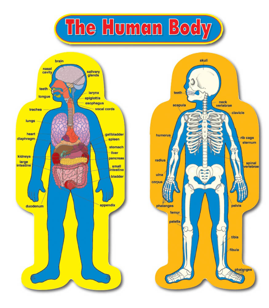 Child Size Human Body Bulletin Board Set Grade Pk 5