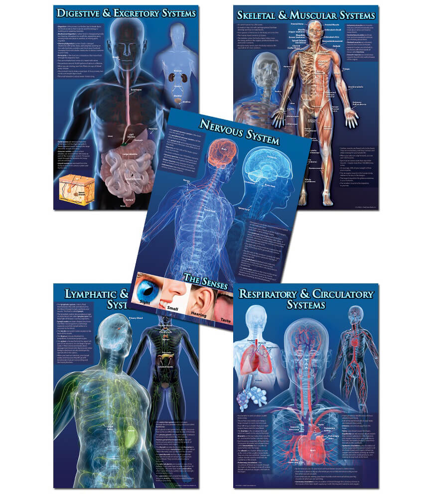 Human Body Facts Bulletin Board Set Product Image