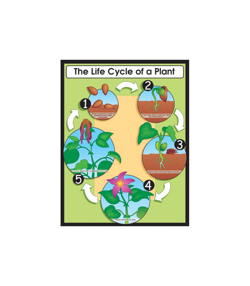 The Life Cycle of a Plant Chart Product Image